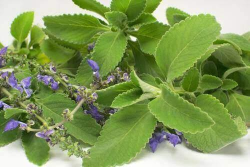 Boldo-kasvin lehdistä tehty tee auttaa parantamaan untasi.