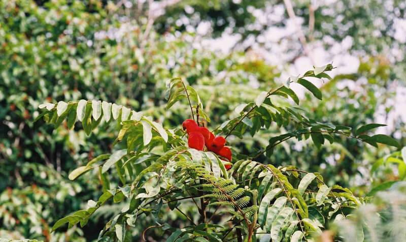 borututu-puu