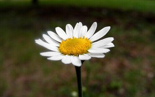 kamomilla-kukka
