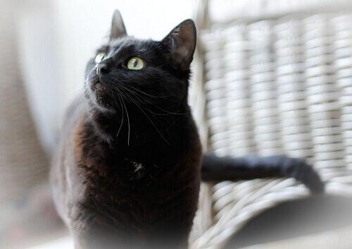 oliiviöljyä kissalle