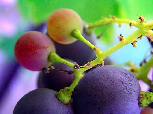 Luonnolliset kipulääkkeet: viinirypäleet