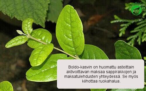 Boldo-kasvi