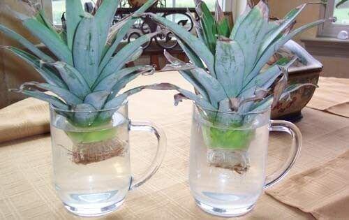 Laita ananaksen hatut veteen