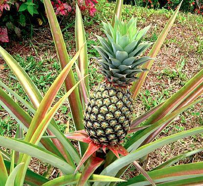 Ananaksen kasvattaminen itse