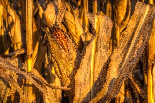 ehkäise nesteen kertyminen ja turvotus nauttimalla maissivettä