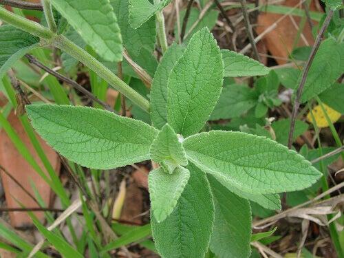 Salvialla on bakteereja hävittäviä ominaisuuksia.