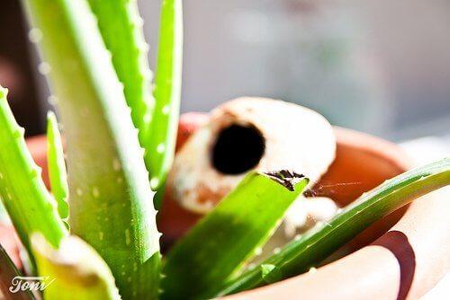 Aloe vera ruukussa