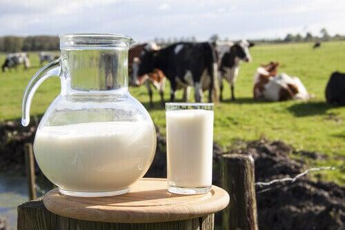 Maito ja lehmät