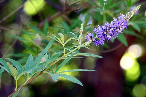 Siveydenpuu auttaa lievittämään PCOS:n aiheuttamia oireita.