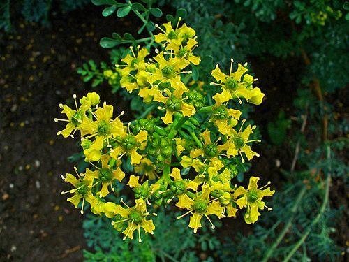kukkiva tuoksuruuta