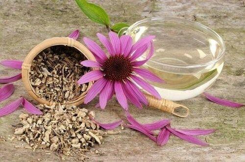 Echinacea luonnolliset antibiootit