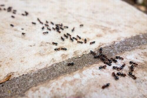 Eroon muurahaisista ilman kemikaaleja