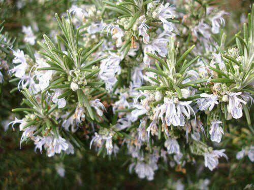 Rosmariinin kukat