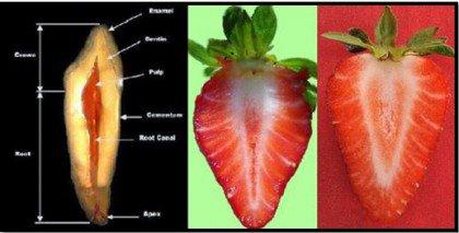 ruoat muistuttavat kehonosia: mansikat ja hampaat