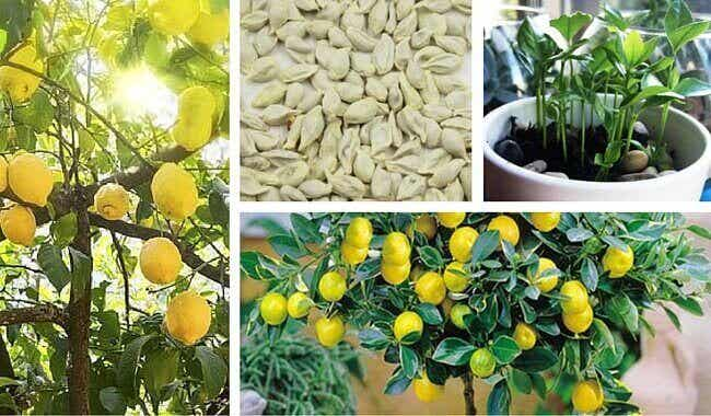 Näin kasvatat sitruunapuun kotonasi