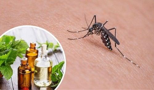 11 yrttiä hyttysten karkottamiseksi