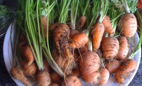 Näin kasvatat helposti omat porkkanasi