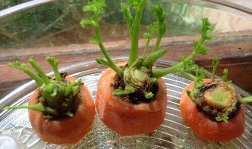 jo itäneet porkkanat