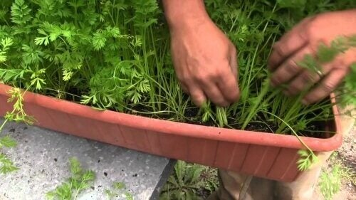 kasvata omat porkkanat