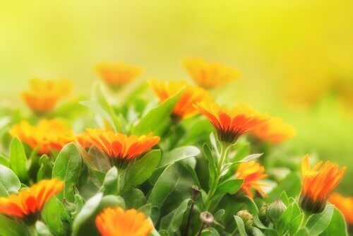 hyttysten karkottaminen kehäkukkien avulla