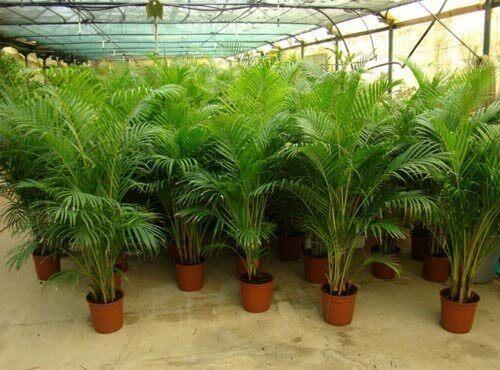 8 ilmaa puhdistavaa kasvia - arekapalmu.