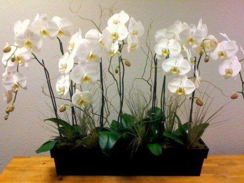 Orkidealle pitää osata antaa oikea määrä vettä ja aurinkoa.