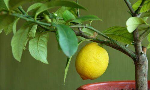 sitruuna kasvaa oksalla