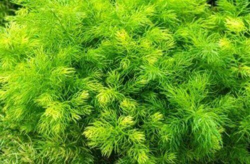 Asparagus racemosus libidon nostattaja