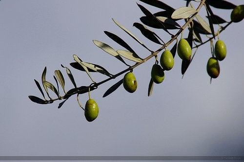 Oliivipuu ei tarvitse paljoa huomiota.