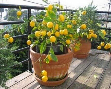 4 hedelmäpuuta joita voit kasvattaa kotonasi