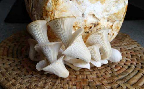kasa sieniä