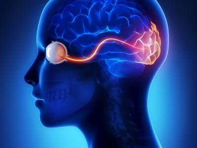Näköaivokuori lakkaa kehittymästä vasta noin 40. ikävuoden iässä.