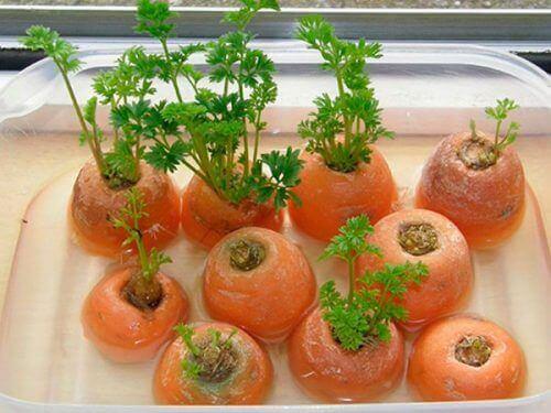 porkkanat voidaan kasvattaa uudelleen