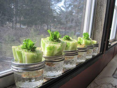 salaatti voidaan kasvattaa uudelleen