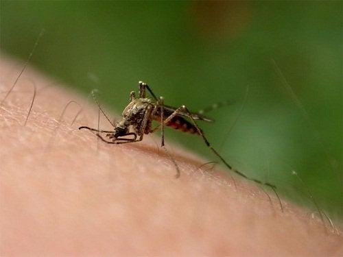 kehäkukkaa hyönteisenpistoon