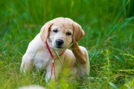 Poista koiran kirput tiheäpiikkisellä kammalla.
