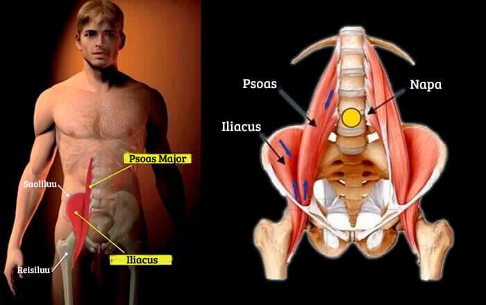 Sielun lihas vaikuttaa mm. tasapainoon.