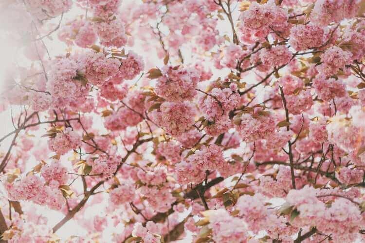 puu kukkii