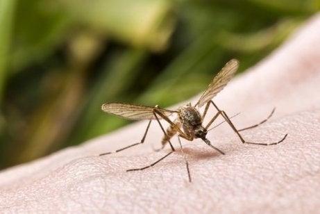 Vicks VapoRub hyönteisten karkoittamiseen