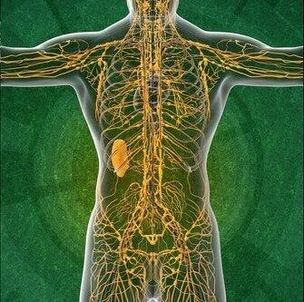 Lymfajärjestelmä: neljä mielenkiintoista faktaa, jotka kannattaa tietää