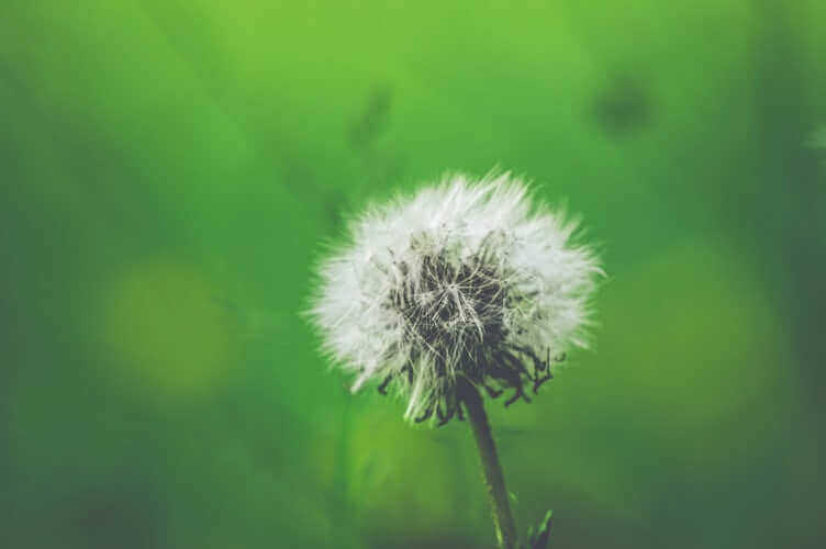 Esimerkiksi siitepöly kuuluu jatkuviin allergeeneihin.