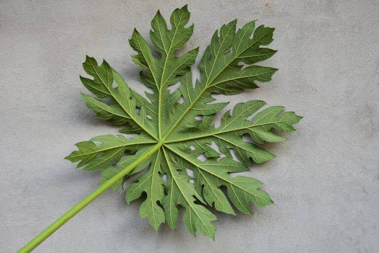 papaijapuun lehti