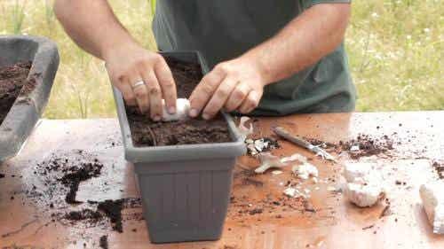 Kuinka kasvatat valkosipulia itse