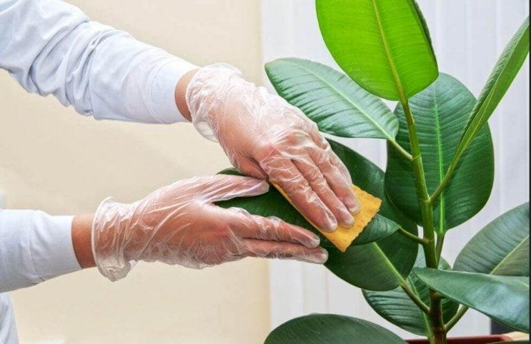 Kuinka sisäkasvien lehdet puhdistetaan
