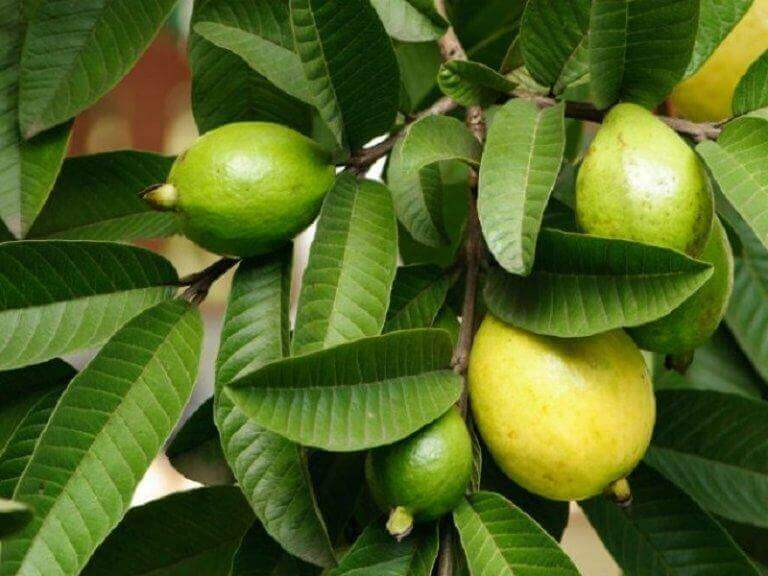 guava: hedelmä ja puu