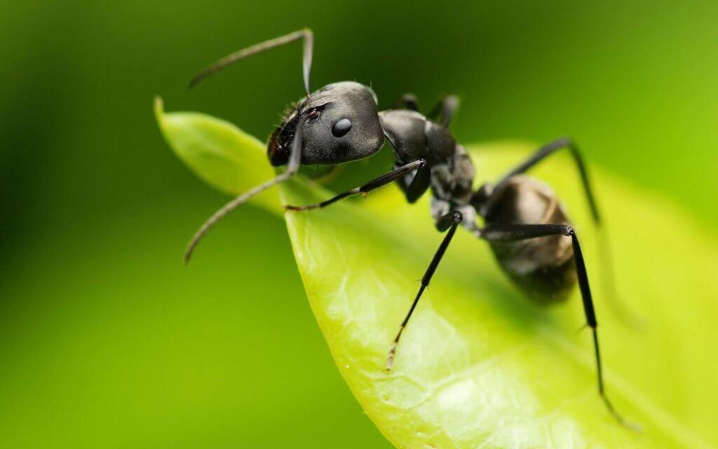 käytä etikkaa puutarhassa muurahaisten karkoittamiseen