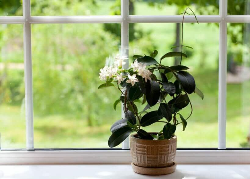 kasvi ikkunalaudalla