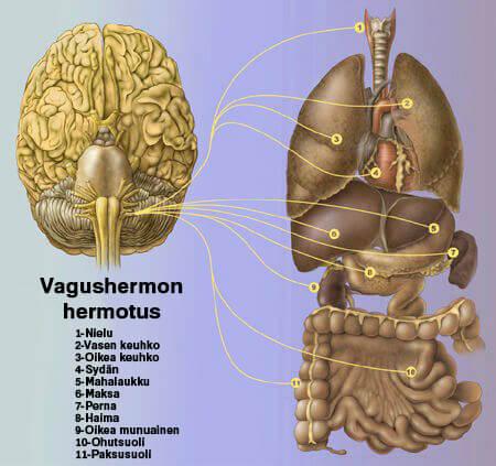 vagushermon hermotus