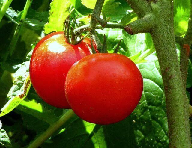koita tomaattia vakavaan ummetukseen