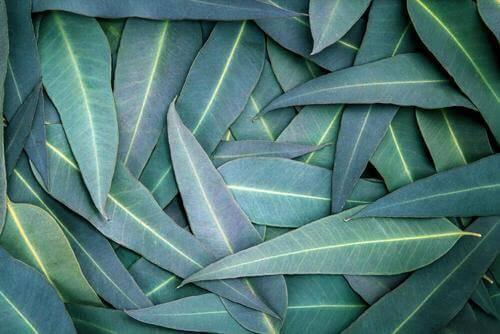 5 eukalyptushoitoa hengitystieongelmiin